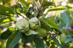 Unripe green apples on the tree Stock Photo