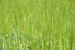 Unripe green barley Stock Photography