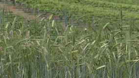 Unripe, green barley (Hordeum vulgare) moving in the breeze. stock video footage