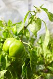 Unripe green bell pepper growing and blossoming in the garden. stock photography