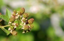 Unripe green blackberries Royalty Free Stock Photos