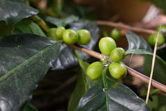 Unripe green coffee berries on the bush. Stock Image