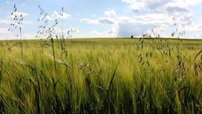 Unripe green corn field stock video footage