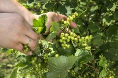 Unripe green currant fruits kept on a woman`s hand. The Unripe green currant fruits kept on a woman`s hand stock photo
