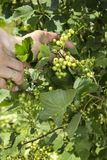 Unripe green currant fruits kept on a woman`s hand. The unripe green currant fruits kept on a woman`s hand stock images