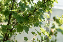 Unripe green currant in the garden Royalty Free Stock Image