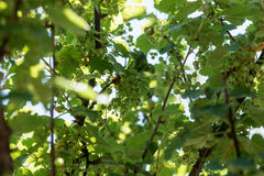 Unripe green currant in the garden Royalty Free Stock Photos