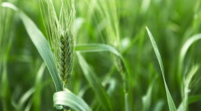 Unripe green ears of barley. In a farm field Stock Photography