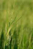 Unripe green ears of barley Royalty Free Stock Photos
