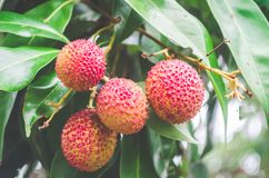 Unripe green fruit Lychee litchi on tree, Lychee the tropical and subtropical fruits native. royalty free stock images