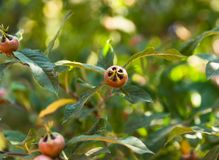 Unripe green fruits on a branch of a loquat tree. On a summer day Royalty Free Stock Photos