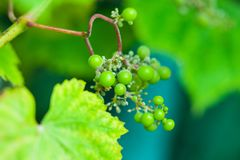 Unripe green grape royalty free stock photo
