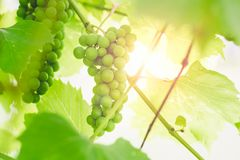 Unripe green grapes on a branch of a vine in a garden on a sunset background stock photography