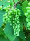 Unripe green grapes Royalty Free Stock Photo