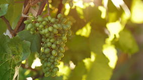 Unripe green grapes. Hanging in a tree stock video footage