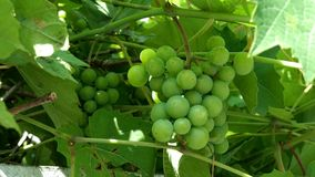 Unripe green grapes. Small bunch of unripe white wine grapes hang from vine with green leaves and sways in wind. Nature stock footage