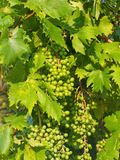 Unripe Green Grapes on Vine Stock Images