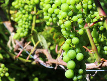 Unripe green grapes on a vine. Closeup Royalty Free Stock Photography