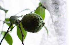 Unripe green lemon on a tree Royalty Free Stock Photo