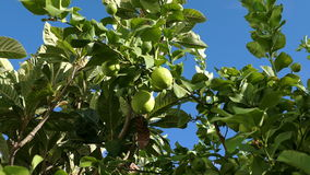 Unripe Green Lemons on the Branch Tree stock video footage