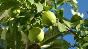 Unripe Green Lemons on the Branch Tree stock footage
