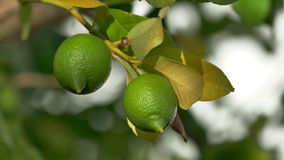 Unripe Green Lemons on the Branch Tree. Closeup stock video