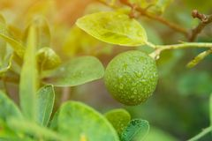 Unripe green lime hanging from a lime tree.  stock photo