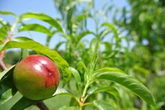 Unripe green nectarine on the tree in an orchard Stock Photography