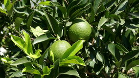 Unripe Green Oranges on the Branch Tree. Closeup stock video footage