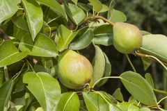 Unripe green pear tree. Summer day in the orchard. Royalty Free Stock Images