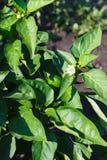 Unripe green pepper on the bush in the garden Stock Image