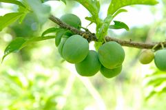 Unripe green plums on tree, Royalty Free Stock Images