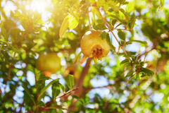 Unripe green pomegranates fruit Stock Images