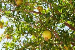 Unripe green pomegranates fruit Royalty Free Stock Photos