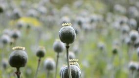 Unripe green poppies heads. Poppy-heads field.  stock video footage