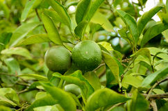 Unripe green tangerine, mandarin on the plant. Royalty Free Stock Images