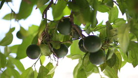 Unripe green tangerines on a tree branch stock footage