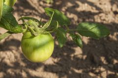 Unripe green tomato on bushes. Ripening vegetables in a home garden. Royalty Free Stock Images