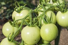 Unripe green tomato on bushes. Ripening vegetables in a home garden. Drops of water after rain on tomato fruit. Stock Images