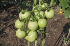 Unripe green tomato on bushes. Ripening vegetables in a home garden. Drops of water after rain on tomato fruit. Stock Photo