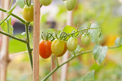 Unripe green tomatoes. Stock Image