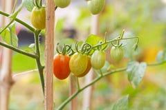 Unripe green tomatoes. Stock Image