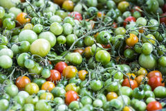 Unripe Green Tomatoes. Unripe Green and Red, Orange Tomatoes Background Stock Images
