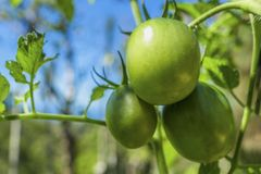 3 unripe green tomatoes on a shrub with leaves. 3 unripe, green tomatoes on a shrub with some leaves, blue sky blurred background Stock Photography