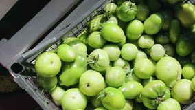 Unripe green tomatoes are stacked in a black plastic box on the market stock footage