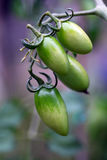 Unripe green tomatoes Royalty Free Stock Photos