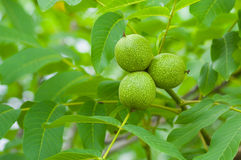 Unripe green walnut Stock Image