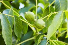 Unripe green walnuts growing on a branch of a walnut tree. stock image