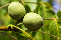 Unripe green walnuts Stock Image