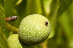 Unripe green walnuts Royalty Free Stock Photos